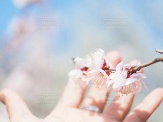 可愛い梅の花の写真・画像素材[3014680]