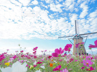 コスモスと風車の写真・画像素材[3029468]