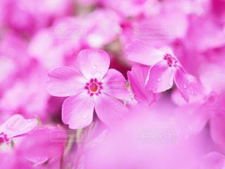 芝桜の写真・画像素材[3029551]