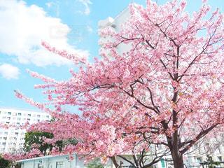 空,花,春,桜,屋外,雲,青空,満開,樹木,河津桜,草木,桜の花,さくら,ブロッサム