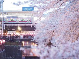 花,桜,屋外,駅,電車,川,満開,樹木,目黒川,ホーム,中目黒,さくら