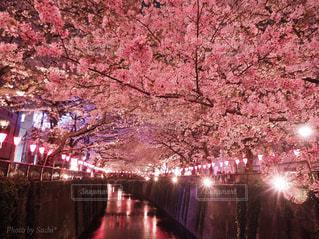 花,春,夜景,屋外,川,花見,夜桜,満開,樹木,お花見,ライトアップ,イベント,目黒川,桜の花,さくら,ブロッサム