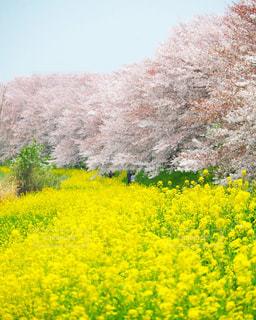 満開の桜と菜の花の写真・画像素材[3033680]