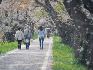 自然,風景,花,春,桜,屋外,後ろ姿,歩く,花びら,満開,樹木,お花見,人,桜吹雪,草木,日中,さくら