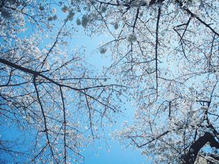 青空と桜の写真・画像素材[3033709]