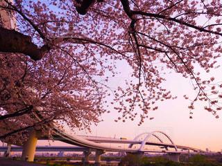 夕焼け桜の写真・画像素材[3033877]