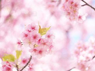 花,春,屋外,植物,鮮やか,満開,ぼかし,樹木,草木,桜の花,さくら,ブロッサム