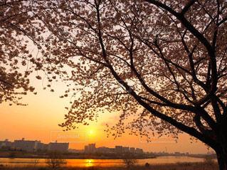 風景,空,桜,屋外,太陽,植物,夕焼け,夕暮れ,川,水面,景色,シルエット,満開,樹木,夕陽,夕景,夕空,草木,桜の木,さくら