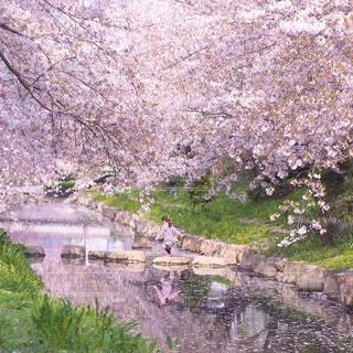 春の小川の写真・画像素材[3034006]