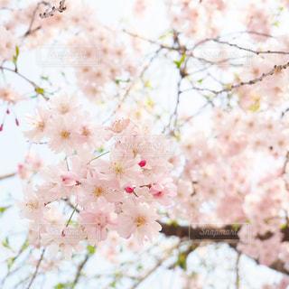 満開の桜を見上げての写真・画像素材[3034007]
