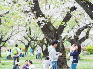 女性,男性,子ども,家族,自然,風景,桜,屋外,満開,草,樹木,お花見,人,植物園,草木,さくら