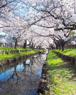 自然,空,春,桜,緑,植物,晴れ,青空,晴天,川,水面,桜並木,小川,樹木,水鏡,リフレクション,ソメイヨシノ