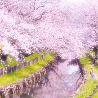 春の小川の写真・画像素材[3059606]
