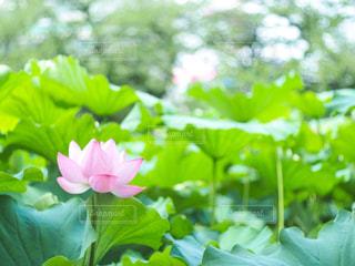 蓮の花の写真・画像素材[3139980]