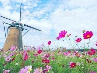 畑の中のピンクの花の写真・画像素材[3338493]