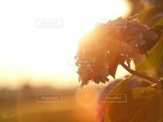 夕焼け紫陽花の写真・画像素材[3374908]