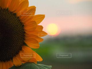夕陽と向日葵の写真・画像素材[3493632]