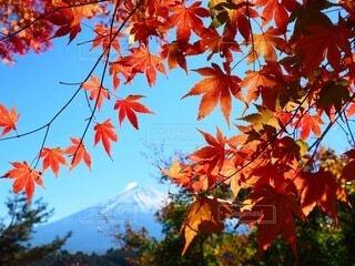 富士山と紅葉の写真・画像素材[3712682]