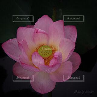 ピンクの花で満たされた花瓶の写真・画像素材[4312980]