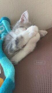 猫,動物,屋内,かわいい,景色,ねこ,ペット,子猫,キャット,毛繕い,マンチカン,毛づくろい,ネコ科,動画,子ねこ,バニー
