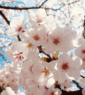 桜の写真・画像素材[1947309]