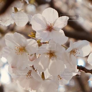 桜の写真・画像素材[1949660]