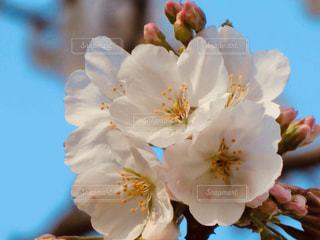 桜の写真・画像素材[1949719]