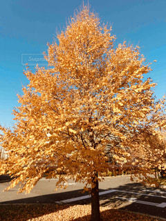 紅葉,黄色,茶色,樹木,ベージュ,ミルクティー色