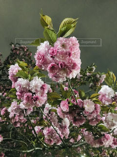 夜の八重桜の写真・画像素材[2038590]