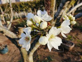 梨の花の写真・画像素材[2053938]