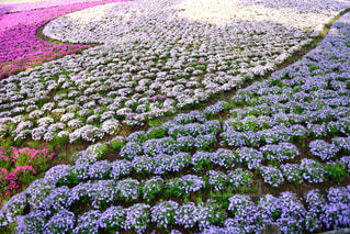 自然,風景,桜,屋外,ピンク,白,カラフル,青,紫,ハート,イベント,芝桜,三色,日中