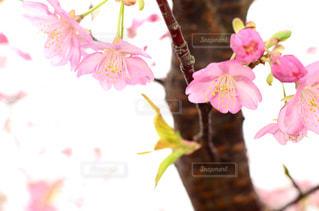 花,桜,ピンク,鮮やか,満開,つぼみ,河津,さくら