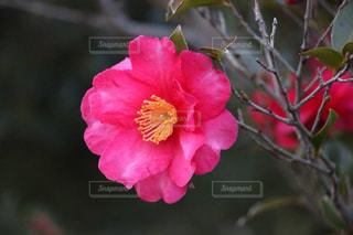 椿のアップの写真・画像素材[1904518]