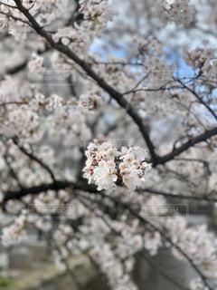空,花,春,桜,屋外,サクラ,満開,樹木,草木,桜の花,チェリーブロッサム,さくら,ブロッサム