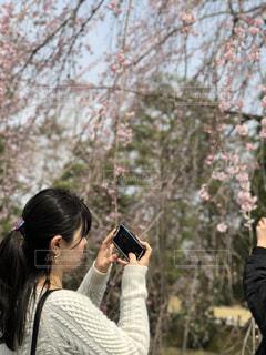 桜,後ろすがた