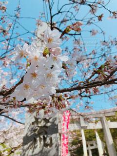 桜と青空の写真・画像素材[1098640]