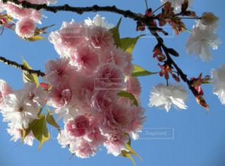 八重桜の写真・画像素材[1949773]