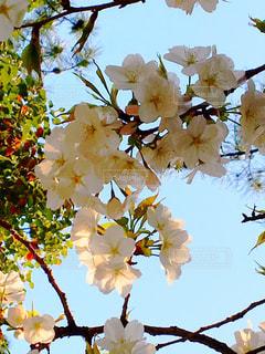桜の写真・画像素材[1975453]