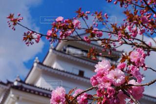 鶴ヶ城の桜の写真・画像素材[1128848]