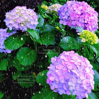 花,雨,屋外,植物,水,水滴,紫陽花,道端,雫,梅雨,6月,天気,草木,雨の日