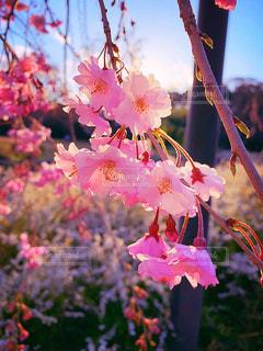 桜の写真・画像素材[1943084]