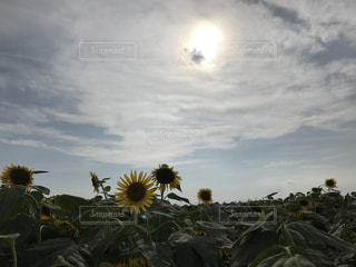 ひまわり畑の写真・画像素材[1946655]
