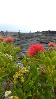 溶岩台地に咲くレフアのお花の写真・画像素材[1970768]