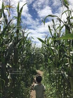 とても背の高いとうもろこし畑の中で緑の葉に埋もれる緑の服を着た子の写真・画像素材[2097085]