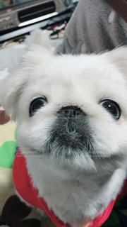 犬,かわいい