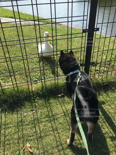 犬,動物,屋外,散歩,ペット,アヒル,柴犬,レジャー,お散歩,黒柴,ライフスタイル,お出かけ,豆柴