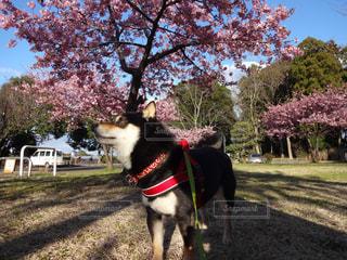 犬,空,公園,春,桜,木,散歩,お花見,柴犬,散歩道,黒柴,河津桜,豆柴,早春