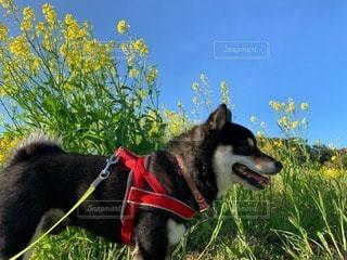黒柴と青空に映える菜の花の写真・画像素材[3245375]