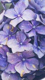 花,あじさい,紫,紫陽花,たくさん,草木,アジサイ