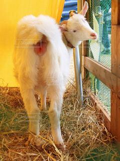 振り向いた羊の写真・画像素材[4502466]